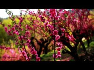 ► Цветение сакуры