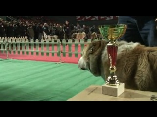 Caucasian sheepdogs. Кавказские волкодавы(P.Assanov)