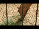 Верблюд ржачно жуёт травку