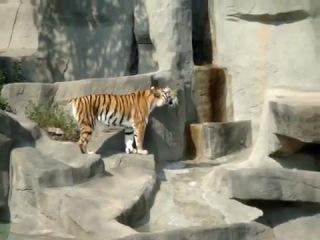Приколы с животными/ Птичка атаковала тигра