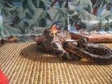 Зоотеррариум. Поедание анакондой мышки.