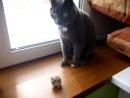 наш кот Тишка и наглый хомяк