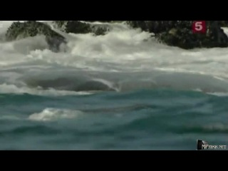BBC: Мир природы. Каланы. Малышка на миллион