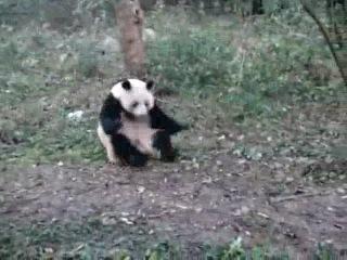 Панда балуется :))