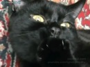 Кот сосёт лапку и мурлыкает