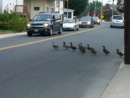 Ducks Crossing the Street