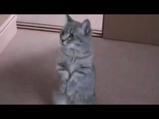 Котик умоляет дать поесть