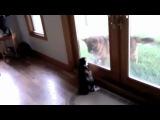 Бой кота и собаки через окно