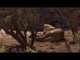 BBC Мир природы. Львы пустыни [26 сезон. 9 серия из 14] (2007)
