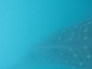 Китовая акула. Донсол.