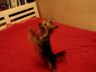 Йоркшир танцует