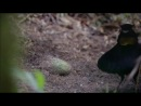 Брачный танец самца Райской птицы Индонезия оригинал
