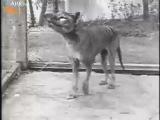 Последняя запись последнего из тасманских волков (1933 год)очень жалко (