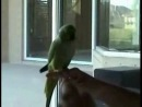 Clever_parrot