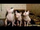 Синхронные движения лысых котят сфинксов