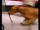 Переводчик с собачьего с Цезарем Миланом 6 выжла венгерская легавая Букер