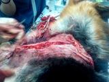 +Производственная практика. Операция собаки по ампутации левой лапы передней конечности: Часть 5 (22.04.11.) (=°●°=)+