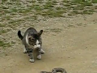 Котэ-мангуст против змеи