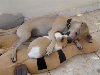 Дружба между морской свинкой и собакой