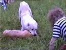 Собачий бой-Алабай vs Питбуль