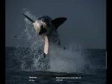 Прыжок самой большой  Белой Акулы