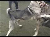 Собачьи бои на Кавказе (2006) часть 2-я - DogFights.ru
