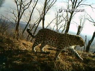 Свадьба дальневосточных леопардов