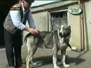 Карачаевский волкодав