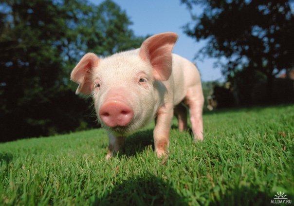 Ноябрьское снижение цен на комбикорма для свиней не стало даже краткосрочной тенденцией, отмечает ИА SoyaNews...