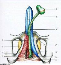 Мужские половые органы ч.2.