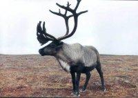 Работники оленеводческих бригад в хозяйствах Чукотского автономного округа будут премироваться оленями за выполнение...