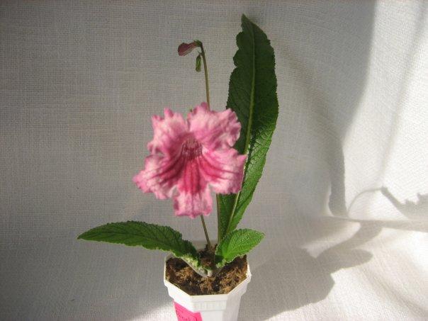 Стрептокарпусы (Streptocarpus) - Страница 2 X_419e997b