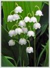 Ландыши - самые нежные цветы!