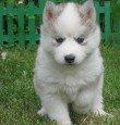 Собаковое резюме:) 1.Порода - Сибирский Хаски.