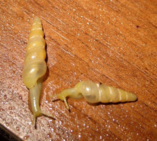 Продам limicolaria flammea и limicolaria unicolor и Subulina Octana X_0de27aaf