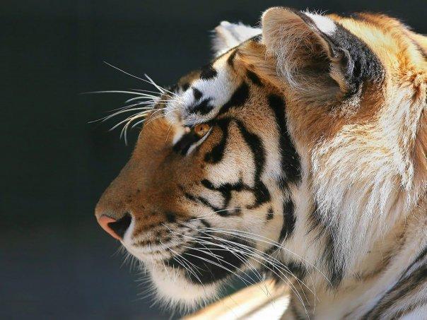 Тигры,львы,пумы и рыси! вступайте!!!   ВКонтакте 2628f92fd7c