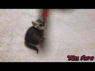 Cute Kitten Playing With Red Ribbon | Too Cute!