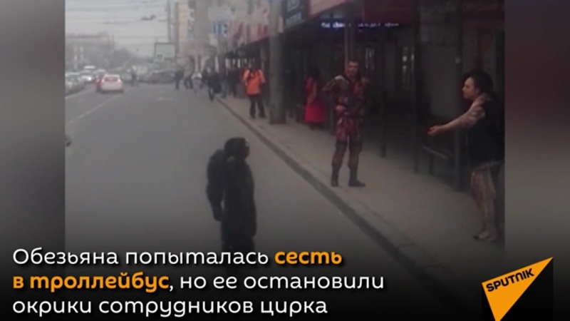 Шимпанзе сбежал из цирка и прогулялся по Краснодару