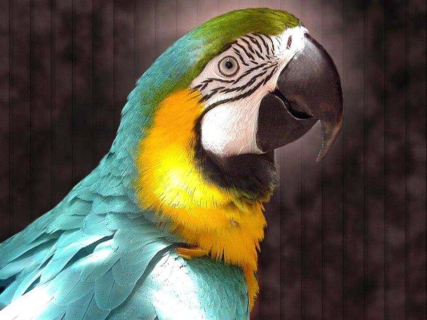 Названия птиц с фотографиями: Попугаи и попугайчики