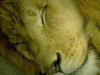 Львенок Игривый