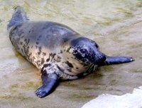 Тюлень Настоящий