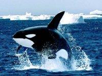 Orca Orcinus