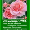 САЖЕНЦЫ РОЗЫ, цветы. Питомник- Минск, Беларусь