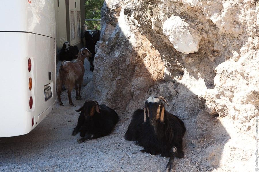 козы в Турции