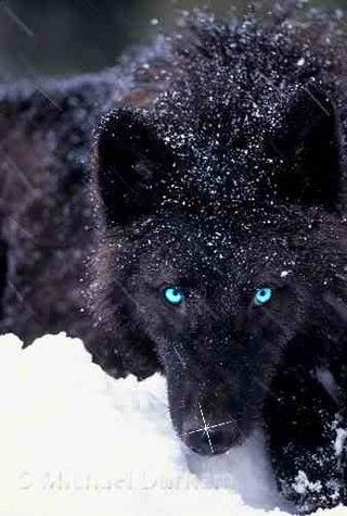 авы от суперского волка(братика) и суперской волчицы ...