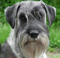 Внимание.  Херсон.  Найдена собака.  В районе ул. Некрасова найден кобель миттельшнауцера (фото из интернета).