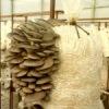 Выращивание вешенки и других грибов в Украине