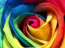 Обои Роза, бутон, радужная, разноцветная, лепестки...