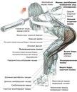 Штанга в руках, хват на ширине...  В упражнении задействованы: трапециевидные мышцы - все части.