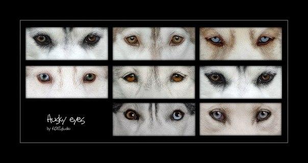 Могут ли у хаски быть разные глаза
